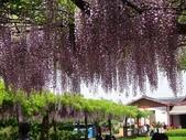 4/23紫藤園:ZZDSC04781.JPG