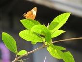 小花園裡蝴蝶好忙....:cccIMG_0082.JPG