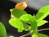 小花園裡蝴蝶好忙....:cccIMG_0083.JPG