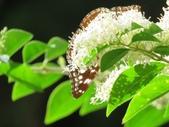 小花園裡蝴蝶好忙....:cccIMG_0093.JPG