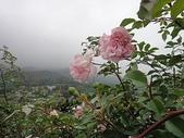 grace的玫瑰花開:zz2011-5-2grace 花園 (169).JPG