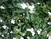 我的花園:華八仙 (7).jpg