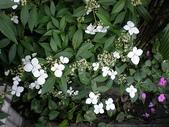 我的花園:華八仙 (6).jpg