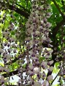 4/23紫藤園:ZZDSC04782.JPG