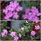 紫色花:7.jpg