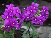 紫色花:8.JPG