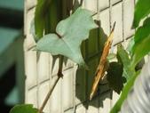 小花園裡蝴蝶好忙....:cccIMG_0092.JPG