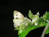 小花園裡蝴蝶好忙....:cccIMG_0098.JPG