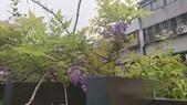 109紫藤:AAADSC_5848.JPG