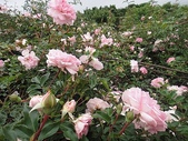 grace的玫瑰花開:zz2011-5-2grace 花園 (145).JPG