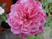 我的花園:zz肯特夫人 (1).JPG