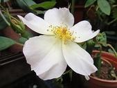 我的花園:zz2011-5-8 (93).JPG