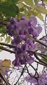 109紫藤:AAADSC_5860.JPG