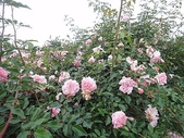 grace的玫瑰花開:zz2011-5-2grace 花園 (210).JPG