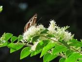小花園裡蝴蝶好忙....:cccIMG_0084.JPG