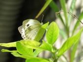 小花園裡蝴蝶好忙....:cccIMG_0096.JPG