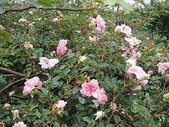 grace的玫瑰花開:zz2011-5-2grace 花園 (151).JPG