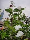 我的花園:cccDSC00235.JPG