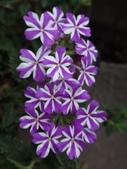 紫色花:9DSC07371.JPG