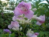 我的花園:y3紫雲藤.jpg