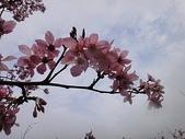 賞櫻:cc2011-3-4 (207).JPG