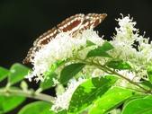 小花園裡蝴蝶好忙....:cccIMG_0087.JPG