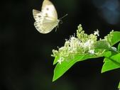 小花園裡蝴蝶好忙....:cccIMG_0101.JPG