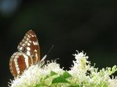 小花園裡蝴蝶好忙....:cccIMG_0085.JPG