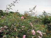 grace的玫瑰花開:zz2011-5-2grace 花園 (150).JPG