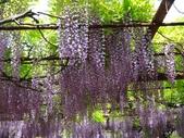 4/23紫藤園:ZZDSC04773.JPG