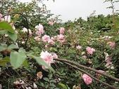 grace的玫瑰花開:zz2011-5-2grace 花園 (152).JPG