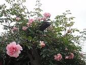 grace的玫瑰花開:zz2011-5-2grace 花園 (230).JPG