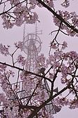 100316悠遊在櫻花的最高殿堂:阿里山櫻花:_DSC0478.JPG