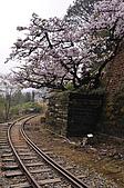 100316悠遊在櫻花的最高殿堂:阿里山櫻花:_DSC0570.JPG