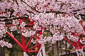 100316悠遊在櫻花的最高殿堂:阿里山櫻花:_DSC0479.JPG