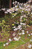 100316悠遊在櫻花的最高殿堂:阿里山櫻花:_DSC0448.JPG