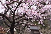 100316悠遊在櫻花的最高殿堂:阿里山櫻花:_DSC0480.JPG