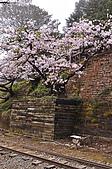 100316悠遊在櫻花的最高殿堂:阿里山櫻花:_DSC0572.JPG
