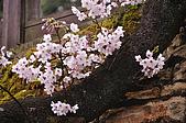 100316悠遊在櫻花的最高殿堂:阿里山櫻花:_DSC0573.JPG