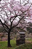 100316悠遊在櫻花的最高殿堂:阿里山櫻花:_DSC0481.JPG