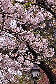 100316悠遊在櫻花的最高殿堂:阿里山櫻花:_DSC0451.JPG