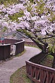 100316悠遊在櫻花的最高殿堂:阿里山櫻花:_DSC0517.JPG
