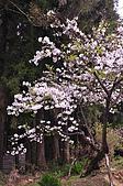 100316悠遊在櫻花的最高殿堂:阿里山櫻花:_DSC0452.JPG