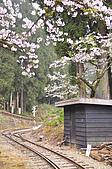 100316悠遊在櫻花的最高殿堂:阿里山櫻花:_DSC0574.JPG