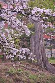 100316悠遊在櫻花的最高殿堂:阿里山櫻花:_DSC0518.JPG