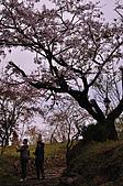 100316悠遊在櫻花的最高殿堂:阿里山櫻花:_DSC0453.JPG
