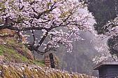 100316悠遊在櫻花的最高殿堂:阿里山櫻花:_DSC0522.JPG