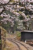 100316悠遊在櫻花的最高殿堂:阿里山櫻花:_DSC0576.JPG