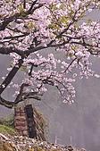 100316悠遊在櫻花的最高殿堂:阿里山櫻花:_DSC0523.JPG
