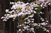 100316悠遊在櫻花的最高殿堂:阿里山櫻花:_DSC0455.JPG